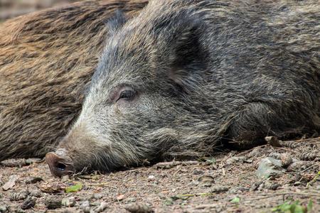 portrait of a lying boar Stock Photo