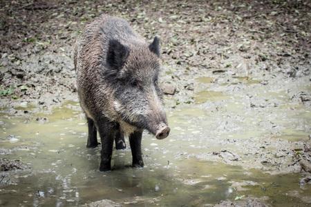 portrait of a boar