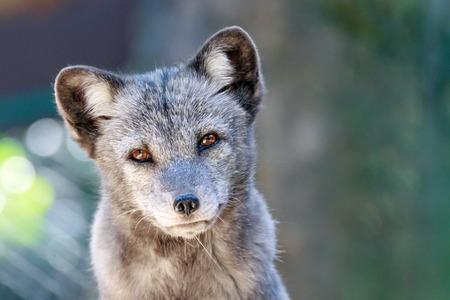 close up of a young arctic fox