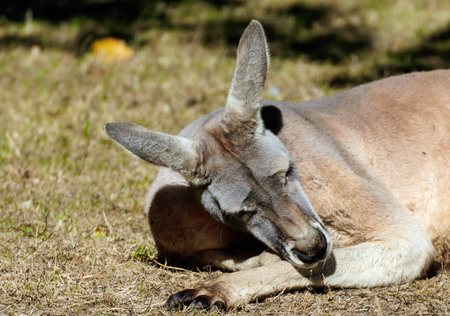 close up of a sleeping red kangaroo