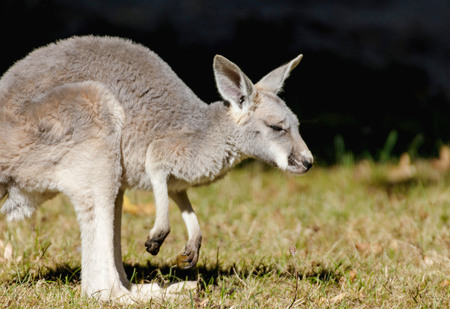 Portrait of a young red kangaroo
