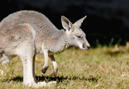 Portrait of a young red kangaroo Фото со стока - 120655391