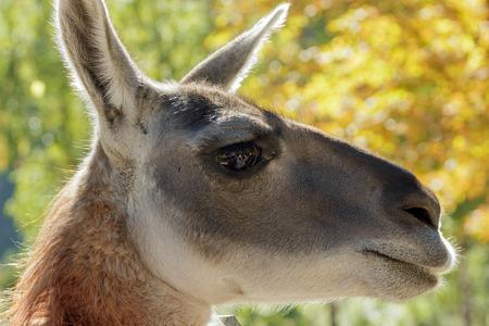 close up of a lama