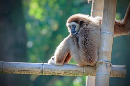 portrait of a gibbon monkey on a bamboo climbing frame