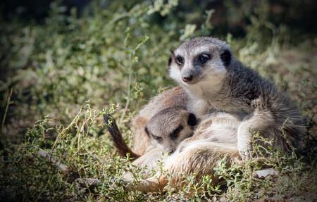portrait of a meerkat family Фото со стока