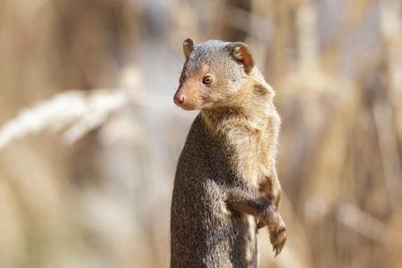 close up of a watchful dwarf mongoose
