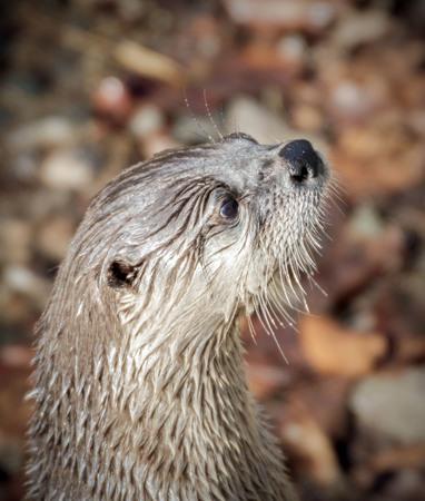 portrait of a european otter Фото со стока