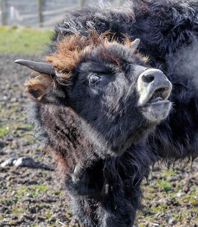 portrait of an aurochs in a game park