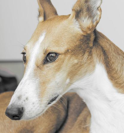 portrait of a beautiful galgo podenco mix