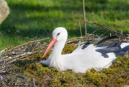 white stork in a nest Фото со стока