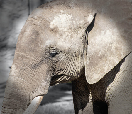close up of an african elephant Фото со стока