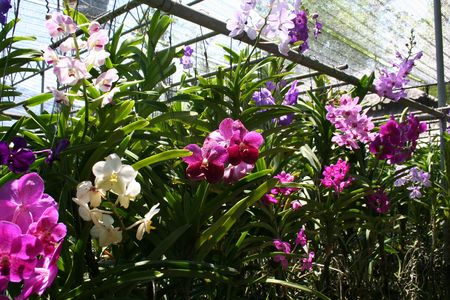 Flowers in an orchid nursery, thailand photo