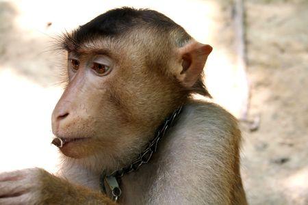 monkey nut: Monkey eating a nut Stock Photo