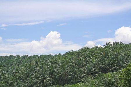 Palm oil tree plantation, in Malaysia photo