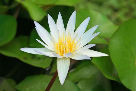 Lotos lilia wodna roślin wodnych kwiat w stawie Zdjęcie Seryjne - 1934685