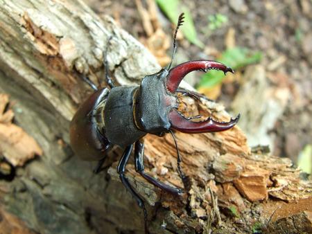 insolación: escarabajo ciervo macho en la madera insolación