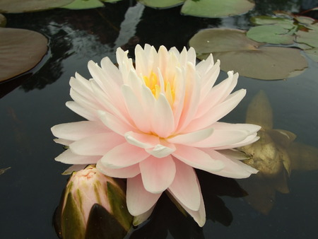 nymphaea: Water lily in botanical garden  Stock Photo