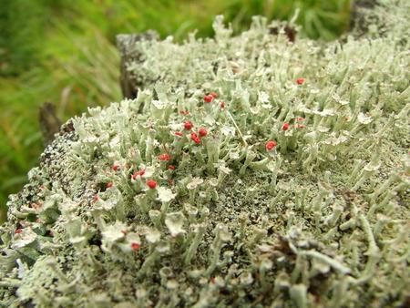 macrophoto: macrophoto of the cup lichen  Czech Republic