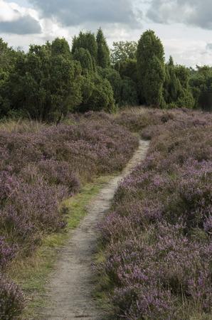 veluwe: Heather field in Hoge Veluwe national park  Netherlands  Stock Photo