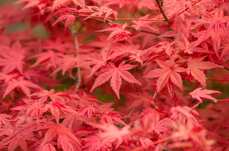 palmatum: Red leafs of Acer palmatum creating nice background.