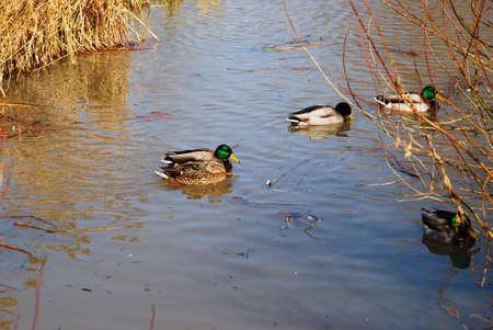 On Gold lake.  Ducks swim in water.