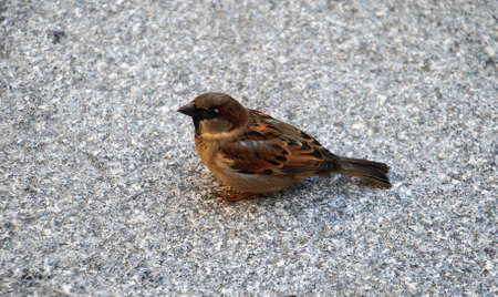 neighbor: Townsresident. A sparrow. Birds live near to us in city. A sparrow is from them our most frequent the neighbor.
