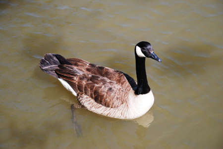 Goose. The goose is a bird proud. Still not a swan, but any more a duck.