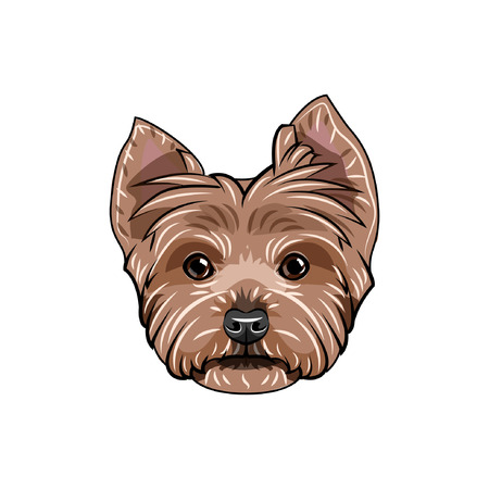 Yorkshire terrier face on white background.