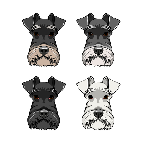 Schnauzer Dog Portraits set. Schnauzer dog breed. Dog head, muzzle, face. Vector illustration.