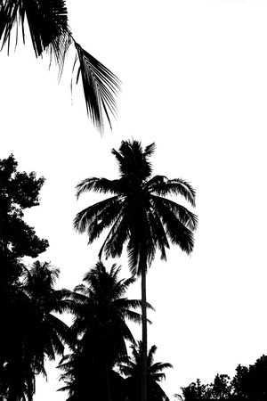 shadowgraph: Leaves of coconut tree isolated on white background.Palm leaves isolated on white.Coconut palm trees against on white background.Leaves of palm tree isolated on white background.Black Coconut Stock Photo