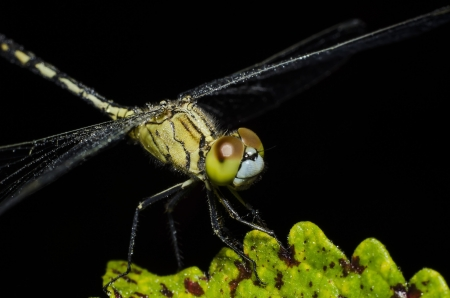 Dragonflly insectos