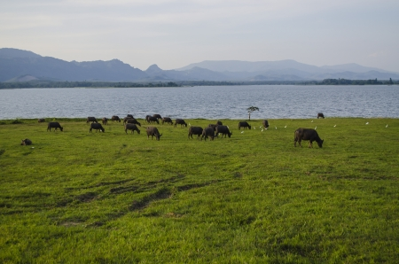 grasslands: Buffalo eating grass. Capture at Malaysia