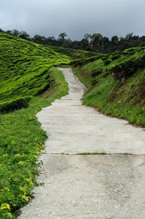 Tea Garden de Cameron Highlands Malasia. El mayor jard�n de t� en Malasia. Foto de archivo