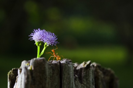 Weaver ant holding a flower photo