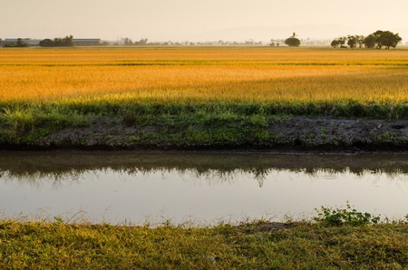 River and paddy field in a morning