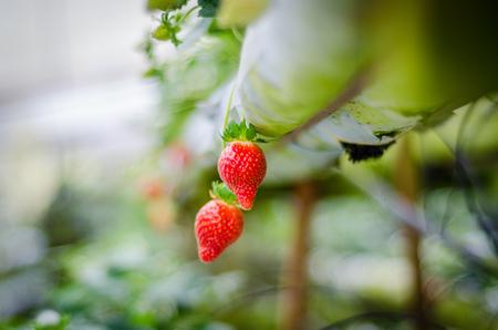 Strawberry tree at Cameron Highland Plantation