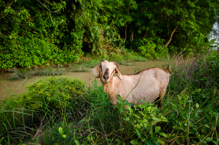 Goat on grasses places