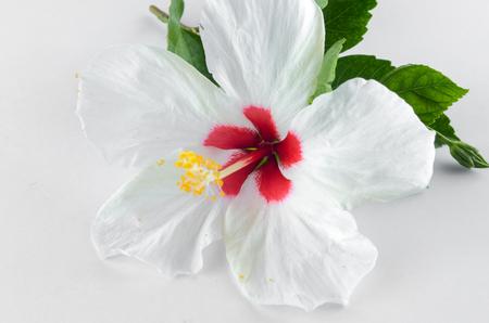 Weiß Hibiskus-Blume Auf Weißen Hintergrund Lizenzfreie Fotos, Bilder ...