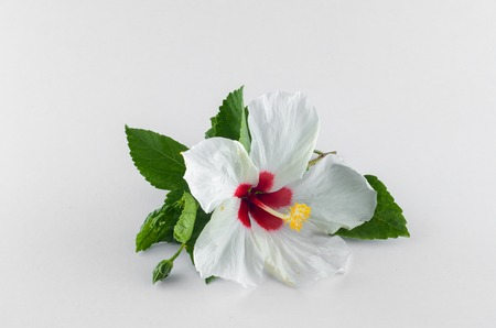 White Hibiscus flower over white background Stock Photo