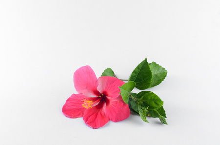 Red Hibiscus flower over white background