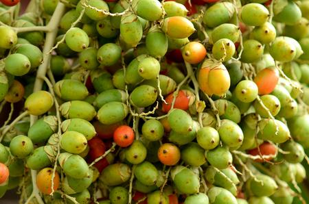 Close view of areca nut on tree