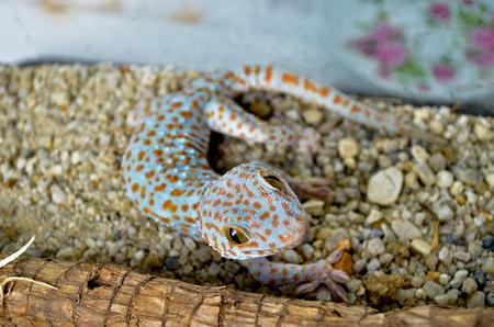 tokay gecko: Tokay Gecco Stock Photo