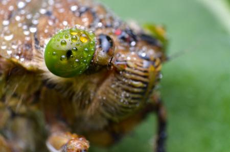 cigarra: Cerrar la vista de cigarra insecto