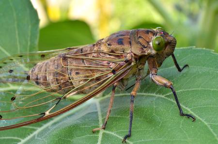 Vue rapprochée de l'insecte aux cigales
