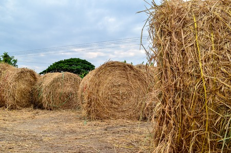 Rolled paddy stalk stored at open place before being sold to horse keeper