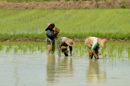 Kedah, Malaysia - May 09, 2017: Farmer planting paddy tree in paddy field to get better result of paddy instead of using machine. This is to ensure the production of the rice is in great quality.