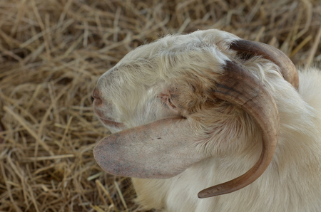 Close view of goat head