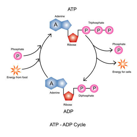 Adenosine triphosphate(ATP) is an organic molecule used for short term energy storage and transport in the cell.Adenosine diphosphate (ADP) is organic compound for metabolism in cell.