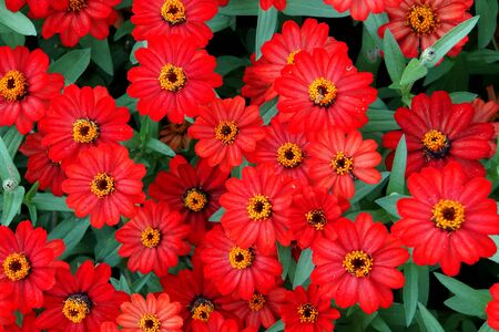 Stunning bright color of Zinnia Profusion Red flowers