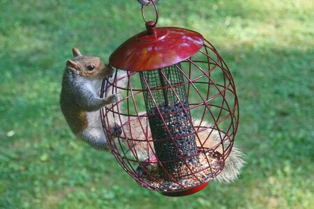 A hungry squirrel trying to steal seeds from a metal bird feeder